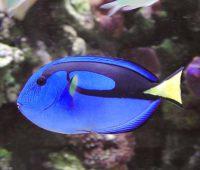 BlueTang Paracanthurus Hepatus