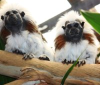 Tamarind Monkeys