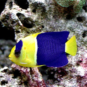 Bicolour Angel Fish