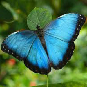 Blue Morpho_600x600