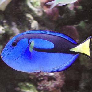 Blue Tang Paracanthurus Hepatus