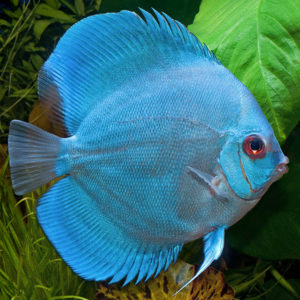 Diamond Blue Discus_600x600
