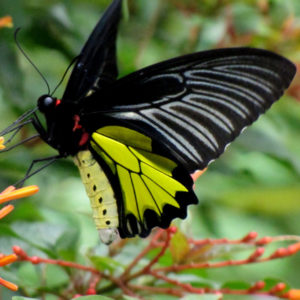 Golden Birdwing_600x600
