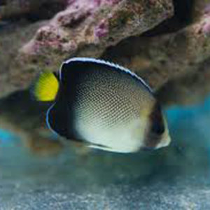 Indian Yellow Tail Angel Fish