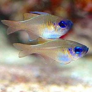 Longspine Cardinal Fish