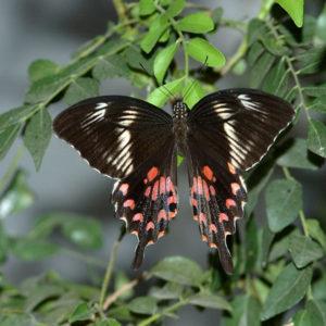 Papilio Polytes Common Mormon