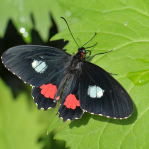 Parides Arcus Common Cattle Heart