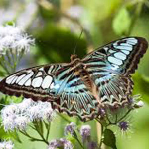 Parthenos Silver Clipper Butterfly