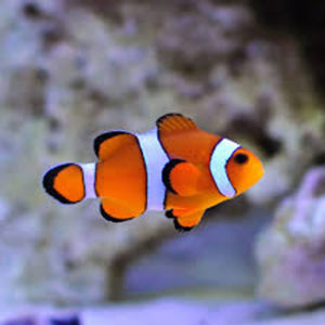 Clown Anemone Fish Amphiprion Percula